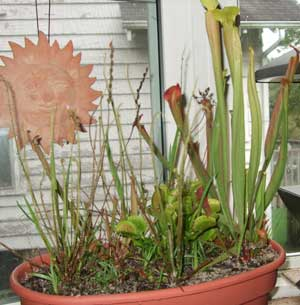 Carnivorous plants on my windowsill.  Flies, beware.